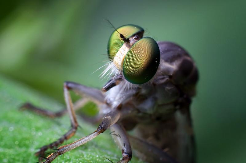 A Robber Fly contemplates his thug life.