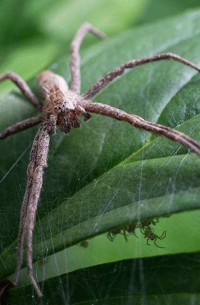 Momma Nursery Web Spider guards her brood