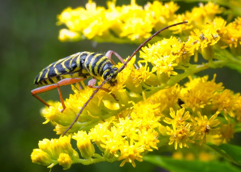 Locust Borer beetle - Megacyllene robiniae