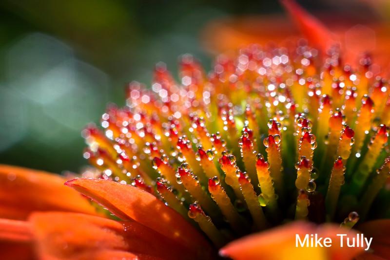 Morning dew on an orange coneflower