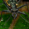 Tiger beetle (Manticora.)