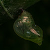 Pupa with water droplets, Ecuador
