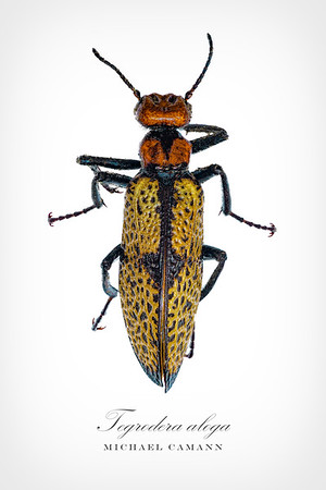 This is Tegrra aloga, the iron cross blister beetle.