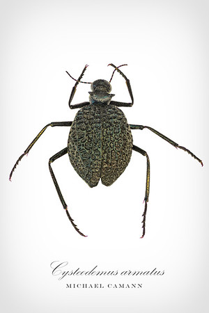 Cysteodemus armatus, the inflated beetle.  A very spider like blister beetle in the Meloidae.