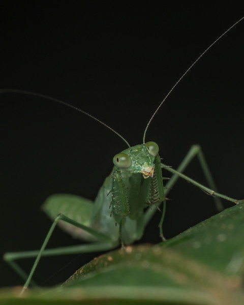 Praying mantis. (Mantid)