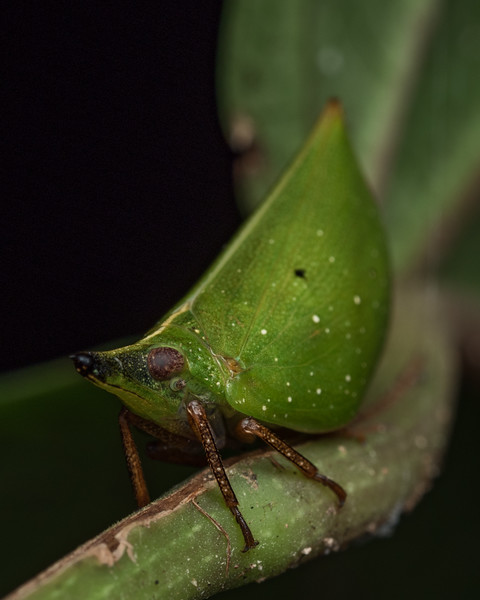 Hopper (nogondinidae) possibly Tonga spp.