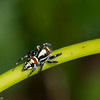 Nycerella donaldi femelle,  Aelurillinae, Freyini, Salticidae <br /> 5592, Cerro Azul, Panama, 19 juin 2014