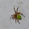 Araneidae sp.<br /> 5550, Cerro Azul, Panama, 19 juin 2014