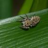 Salticidae sp.<br /> 5640, Cerro Azul, Panama, 19 juin 2014