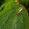 Oxyopidae sp, Lynx spider<br /> 5597, Cerro Azul, Panama, 19 juin 2014