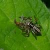 Salticidae sp. Panama<br /> 6773, Cerro Gaital, Panama, 23 juin 2014