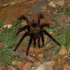 Theraphosidae sp,  Mygale du Panama<br /> 5682, Cerro Azul, Panama, 19 juin 2014
