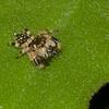 Salticidae sp.  Jumping spider Panama<br /> 5553, Cerro Azul, Panama, 19 juin 2014