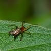 Araneidae,  Micrathena sp.<br /> 6372, Cerro Azul, Panama, 21 juin 2014