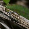 Nephila clavipes,  Nephilidae , Golden Orb Spider<br /> 5569, Cerro Azul, Panama, 19 juin 2014