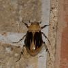 Ancognatha vulgaris, Scarabaeidae , Dynastinae<br /> 7497, Mount Totumas Cloud Forest, Panama, 27 juin 2014