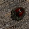 Nilioninae sp.  Tenebrionidae, Fungus beetle<br /> 7501, Mount Totumas Cloud Forest, Panama, 27 juin 2014
