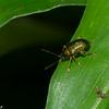 Chrysomelidae sp.<br /> 5183, Cerro Azul, Panama, 18 juin 2014