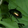 Macraspis lucida , Rutelinae, Scarabaeidae<br /> 7748, Mount Totumas Cloud Forest, Panama, 29 juin 2014