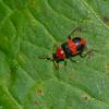 Collops sp. Melyridae, Soft-winged Flower Beetles<br /> 7483, Mount Totumas Cloud Forest, Panama, 27 juin 2014