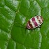 Asphaera sp.   Chrysomelidae  , Flea beetle<br /> 5534, Cerro Azul, Panama, 19 juin 2014