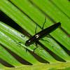 Dasydactylus sp. Languriini,  Erotylinae, Erotylidae, Pleasing Fungus Beetles<br /> 5140, Cerro Azul, Panama, 18 juin 2014