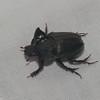 Orphnidae sp. Scarabaeidae <br /> 6424, Cerro Azul, Panama, 21 juin 2014