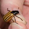 Bolax magnus,  Rutelinae, Scarabaeidae,  Shining Leaf Chafers<br /> 5556, Cerro Azul, Panama, 19 juin 2014