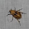 Ancognatha vulgaris,  Scarabaeidae ,  Dynastinae<br /> 5835, Cerro Azul, Panama, 19 juin 2014