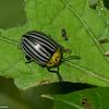 Leptinotarsa sp. Doryphorina, Chrysomelidae du Panama<br /> 6731, Cerro Gaital, Panama, 23 juin 2014