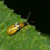 Diabrotica fulvicornis,  Luperini, Galerucinae,  Chrysomelidae <br /> 6847, Mount Totumas Cloud Forest, Panama, 25 juin 2014