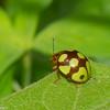 Platyphora sp. Chrysomelidae  de Panama<br /> 6387, Cerro Azul, Panama, 21 juin 2014