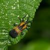 Chalepus sp.  Chrysomelidae,  Hispine Beetle<br /> 6776, Cerro Gaital, Panama, 23 juin 2014
