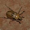 Ancognatha vulgaris male, Cyclocephala, Dynastinae, Scarabaeidae <br /> 7437, Mount Totumas Cloud Forest, Panama, 27 juin 2014