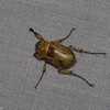 Cyclocephala nigritarsis,  Dynastinae , Scarabaeidae<br /> 5766, Cerro Azul, Panama, 19 juin 2014