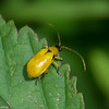 Chrysomelidae sp.<br /> 7477, Mount Totumas Cloud Forest, Panama, 27 juin 2014