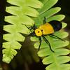 Chauliognathus heros, Chauliognathini,  Soldier Beetle , Cantharidae<br /> 5578, Cerro Azul, Panama, 19 juin 2014