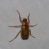 Scarabaeidae sp. Coleoptere du Panama<br /> 5410, Cerro Azul, Panama, 18 juin 2014
