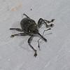 Charancon du Panama, Weevil of Panama<br /> 5546, Cerro Azul, Panama, 19 juin 2014