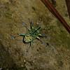 Entiminae sp. Curculionidae,  Charancon du Panama<br /> 5100, Cerro Azul, Panama, 18 juin 2014