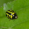 Calligrapha sp. Doryphorina,  Chrysomelidae<br /> 6750, Cerro Gaital, Panama, 23 juin 2014