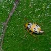 Diabrotica fulvicornis, Luperini, Galerucinae,  Chrysomelidae <br /> 7485, Mount Totumas Cloud Forest, Panama, 27 juin 2014