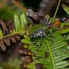 Sphecidae, Ammophila sp.<br /> 5575, Cerro Azul, Panama, 19 juin 2014