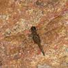 Libellulidae sp.<br /> 5576, Cerro Azul, Panama, 19 juin 2014