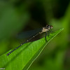 Zygoptera sp.  Libellule du Panama,  Damselflies<br /> 6757, Cerro Gaital, Panama, 23 juin 2014
