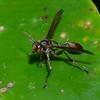 Mischocyttarini sp. Polistinae , Vespidae<br /> 6321, Cerro Azul, Panama, 21 juin 2014