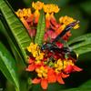 Vespidae, Polistinae sp.<br /> 6905, Mount Totumas Cloud Forest, Panama, 25 juin 2014