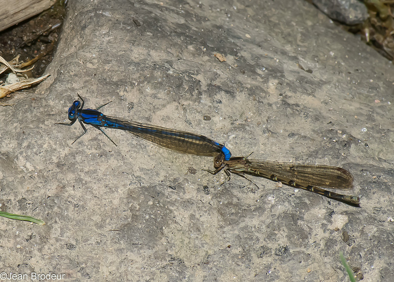 Argia extranea,  Coenagrionidae,  Zygoptera<br /> 6904, Mount Totumas Cloud Forest, Panama, 25 juin 2014