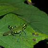 Chromacris psittacus, Romaleidae<br /> 5222, Cerro Azul, Panama, 18 juin 2014