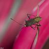 Coreidae  sp. <br /> 6726, Cerro Gaital, Panama, 23 juin 2014